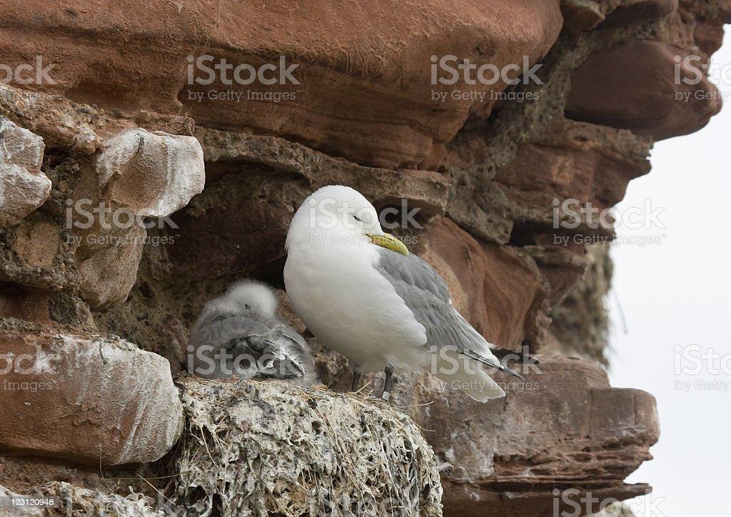 Nesting Kittiwake royalty-free stock photo