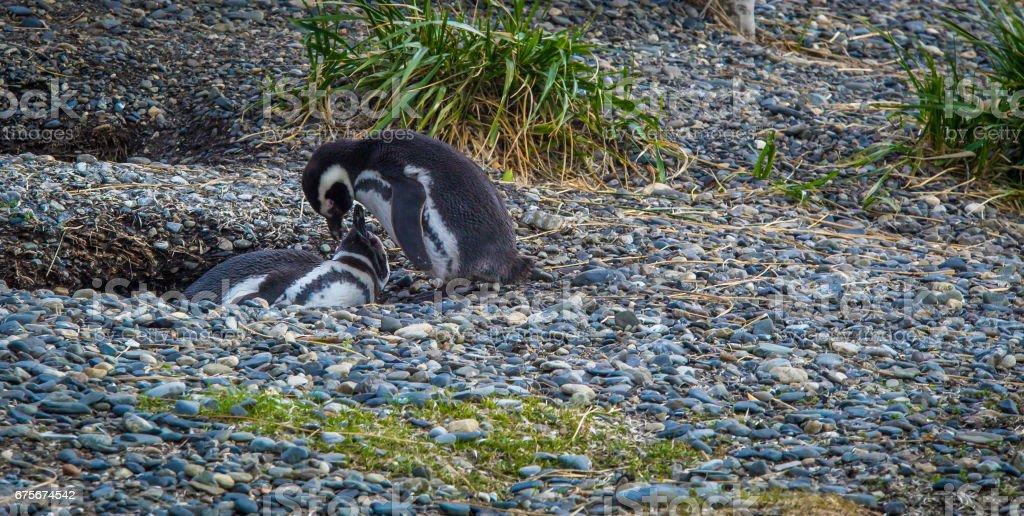 nidification pingouin Tierra del Fuego photo libre de droits