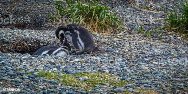 Nesting penguin tierra del fuego picture id675685408?b=1&k=6&m=675685408&s=612x612&h=vyy2e6izs30tmsbvc8caegv5gvqxuy 38zv4jtdfan0=