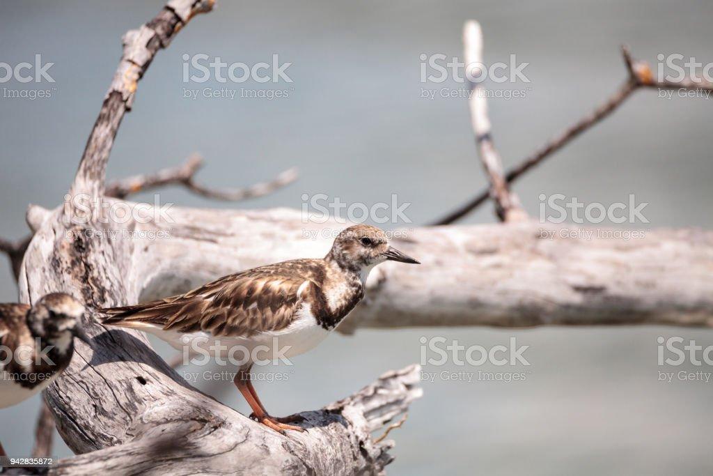 Nesting Ruddy turnstone wading bird Arenaria interpres stock photo