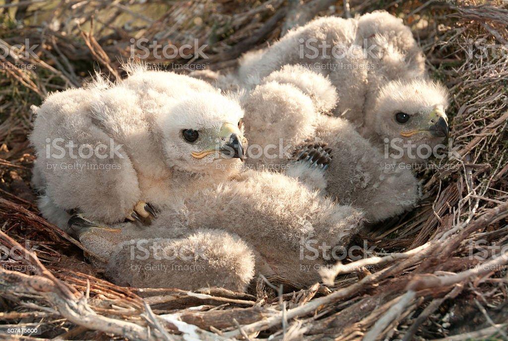 Nestings Long Legged Buzzard stock photo