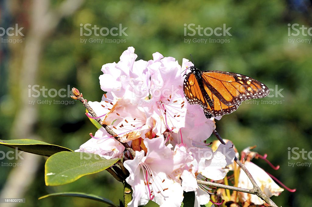 Nestling Butterfly royalty-free stock photo