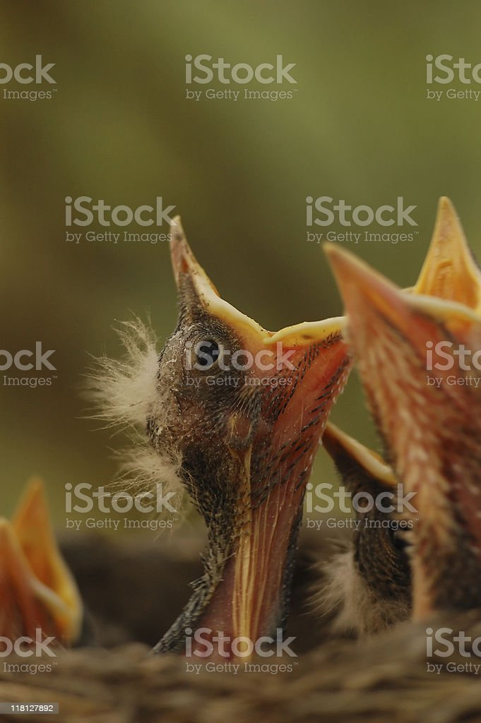 nestling royalty-free stock photo