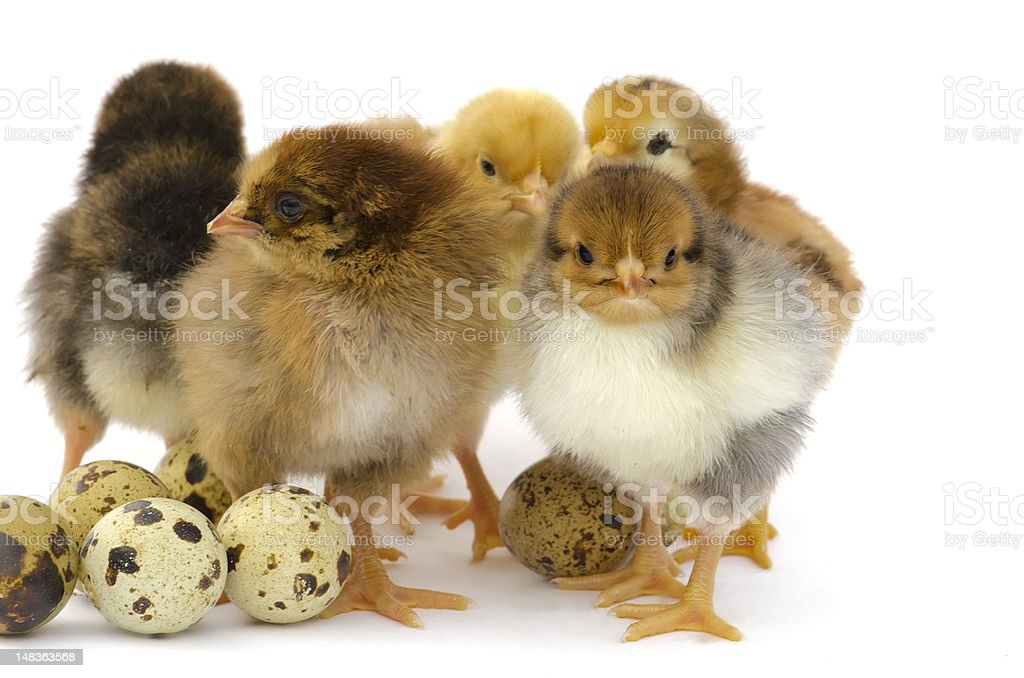 Nestlings chicken and quail eggs stock photo