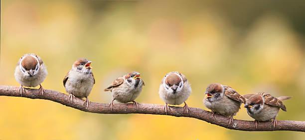 nestlings of a sparrow sitting on a tree branch - pippi bildbanksfoton och bilder
