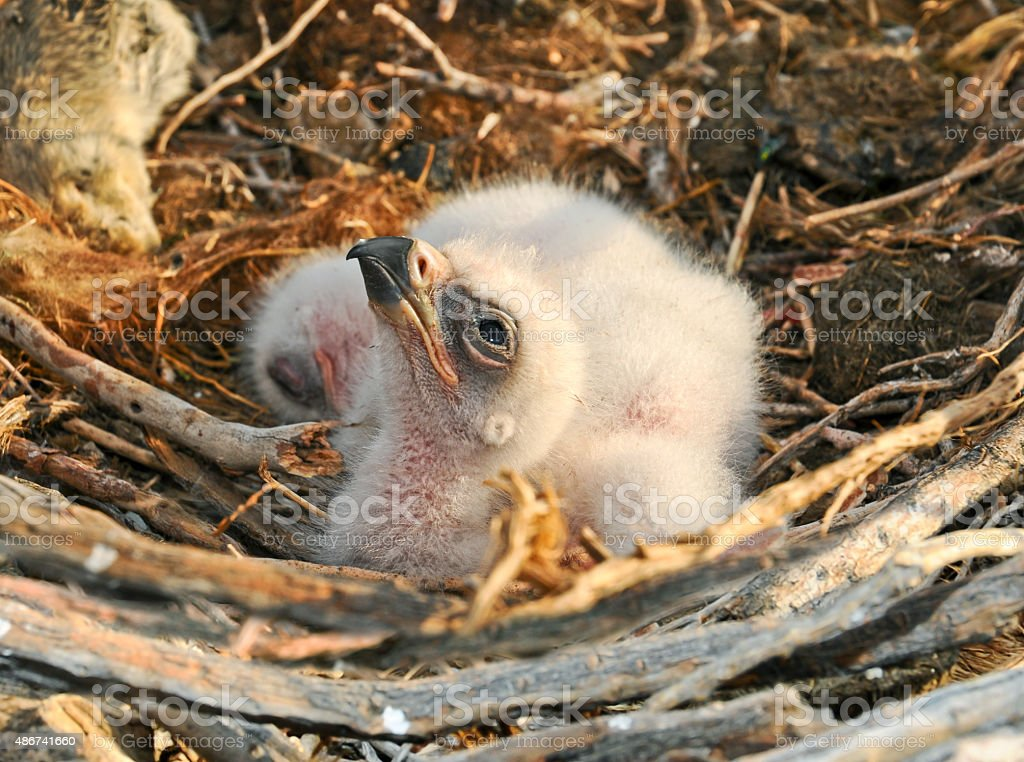 nestlings Steppe Eagle stock photo