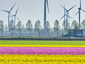 Tulip fields and wind turbine in the Netherlands