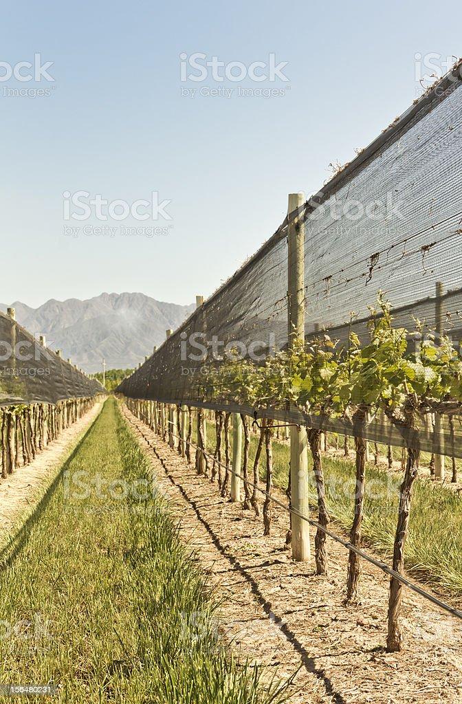 Netting Antihail In Vineyard Stock Photo - Download Image