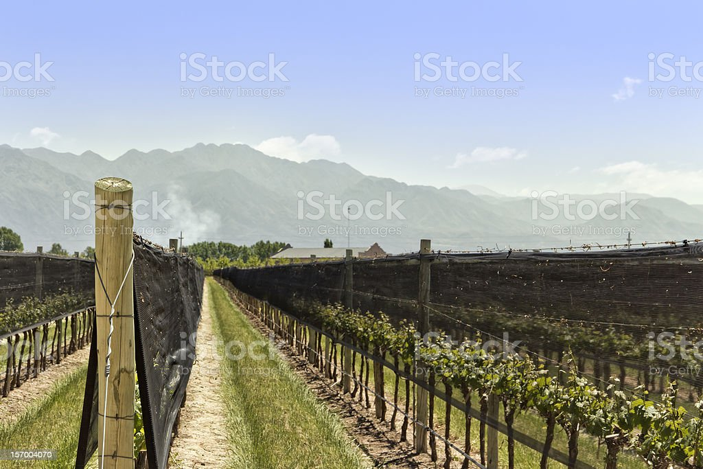 Netting Antihail In Vineyard Stock Photo & More Pictures of