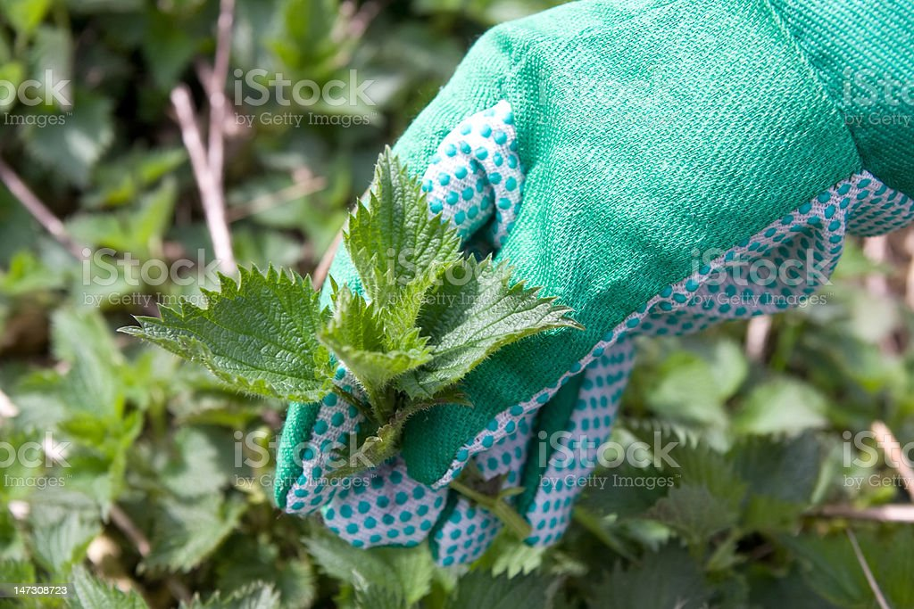 nettle and hand in gloves stock photo