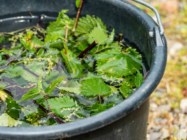 urtiga brew fertilizante natural urtigas - foto de acervo