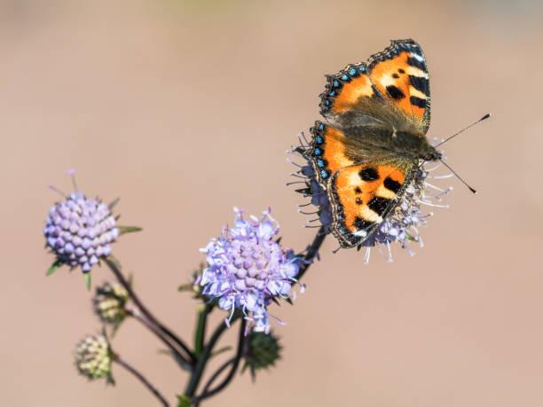 Nettle butterfly stock photo