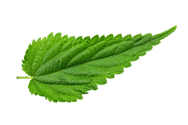 nettle leaf isolated on white background. the texture of the leaf is clearly visible. nettle leaf isolated on white background. the texture of the leaf is clearly visible. medical herbs stinging nettle stock pictures, royalty-free photos & images