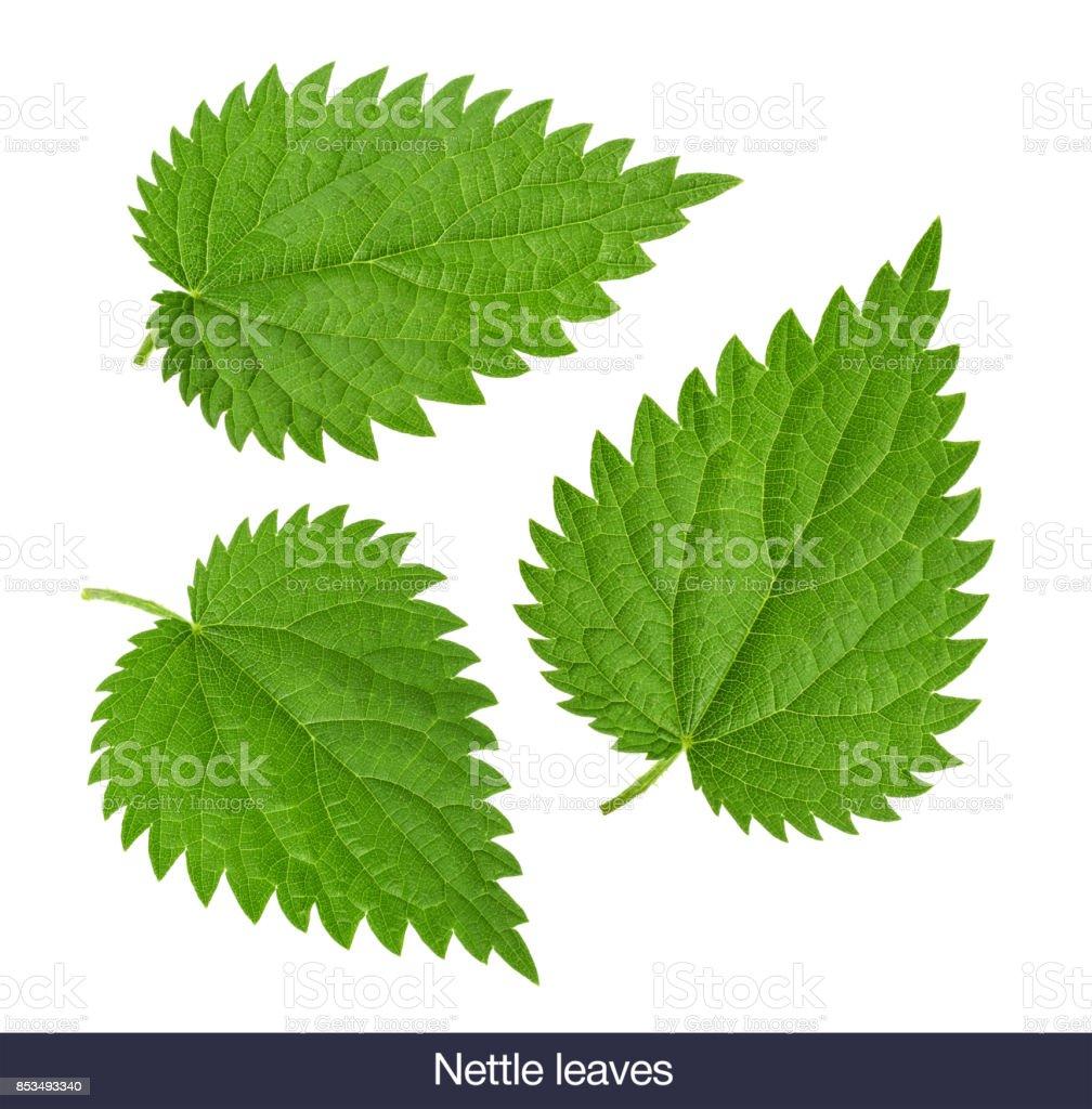 Nettle leaf isolated on white without shadow. set stock photo
