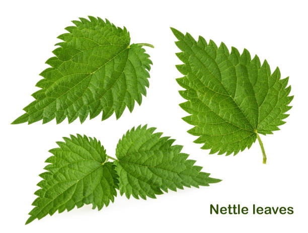 Nettle leaf isolated on white without shadow. set Nettle leaf isolated on white without shadow. set stinging nettle stock pictures, royalty-free photos & images
