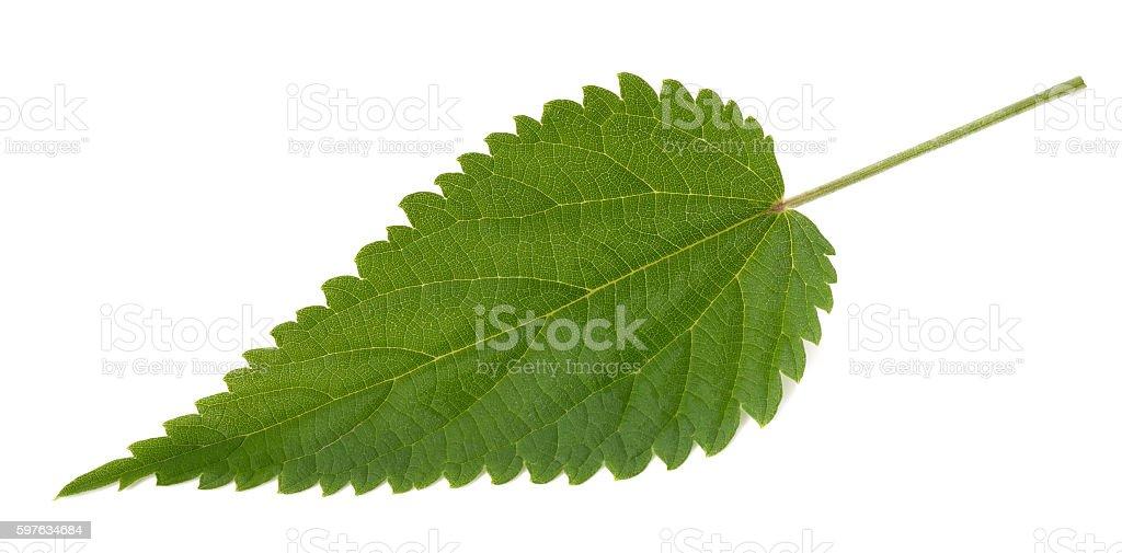 Nettle leaf isolated stock photo