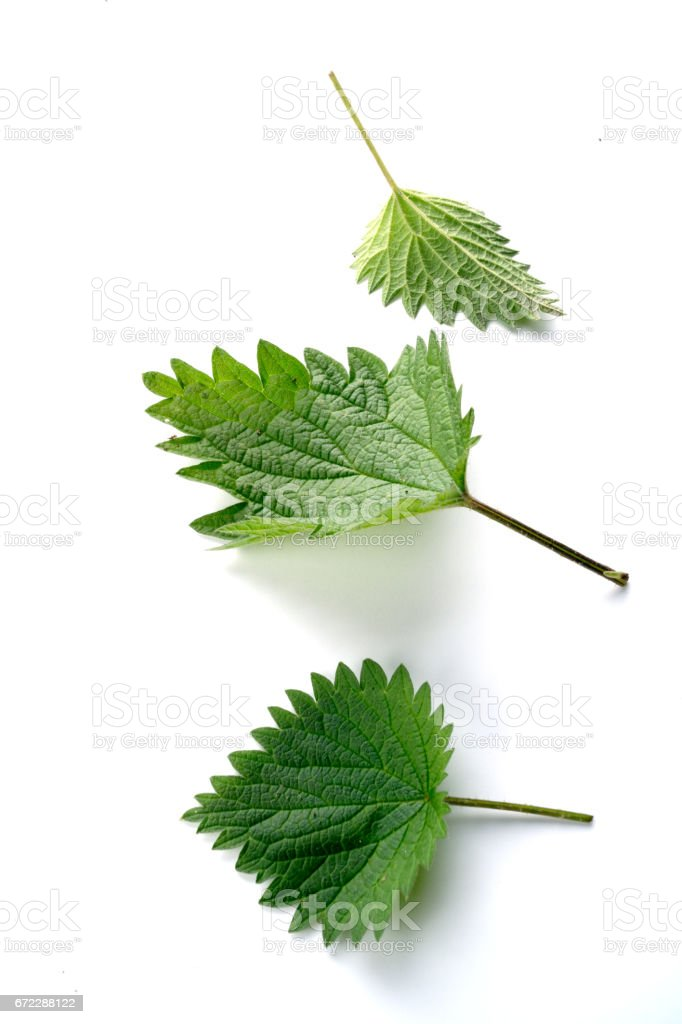 Nettle leaves isolated on the white background stock photo