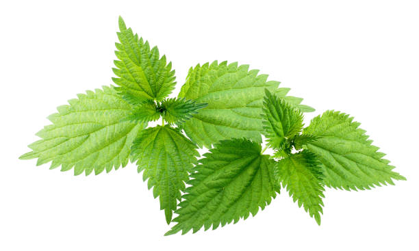 Nettle leaves isolated on white background Nettle leaves isolated on white background as package design element stinging nettle stock pictures, royalty-free photos & images