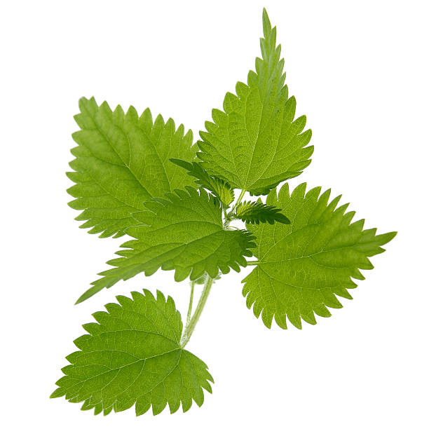 Nettle on white Close-up of nettle leaves isolated on white. stinging nettle stock pictures, royalty-free photos & images