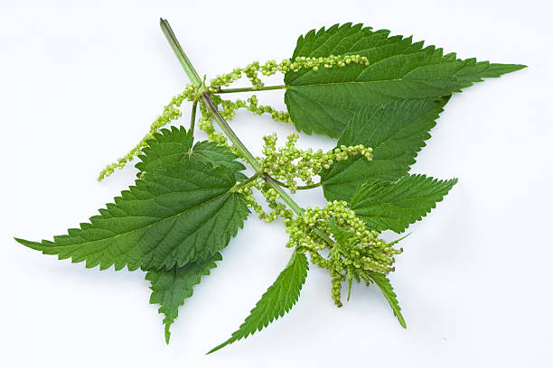 Nettle Nettle (Urtica dioica) stinging nettle stock pictures, royalty-free photos & images