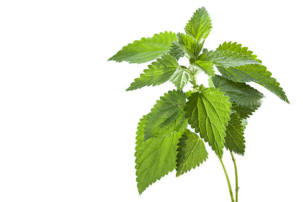 Nettle Stinging nettle ( Urtica dioica ) stinging nettle stock pictures, royalty-free photos & images