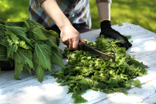 Nettle. Woman chopping nettle leaves. stinging nettle stock pictures, royalty-free photos & images