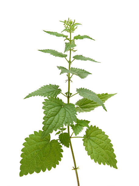 nettle plant  stinging nettle stock pictures, royalty-free photos & images