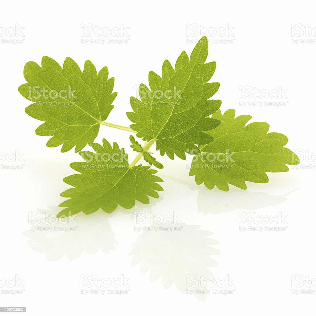 Nettle sprig, isolated royalty-free stock photo