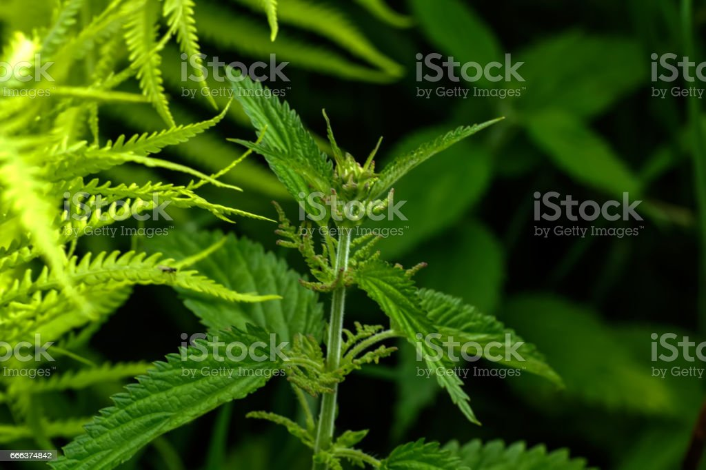 Nettle. Summer forest. stock photo