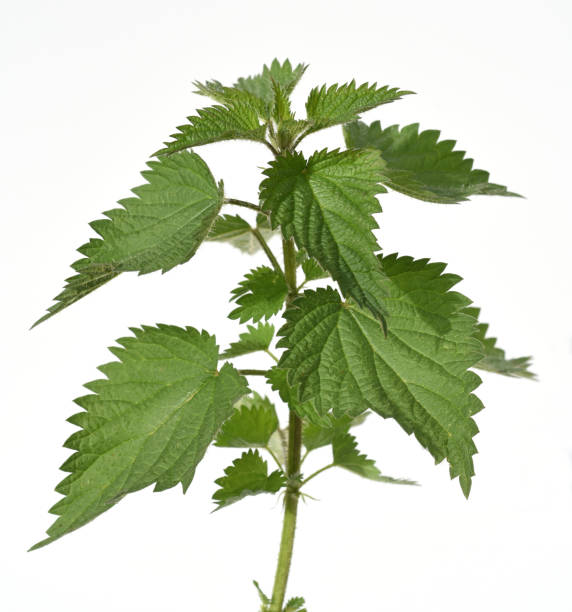 nettle, Urtica, dioica, nettle, Urtica, dioica, stinging nettle stock pictures, royalty-free photos & images