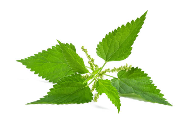 Nettle with flower Nettle with flower isolated on white background stinging nettle stock pictures, royalty-free photos & images