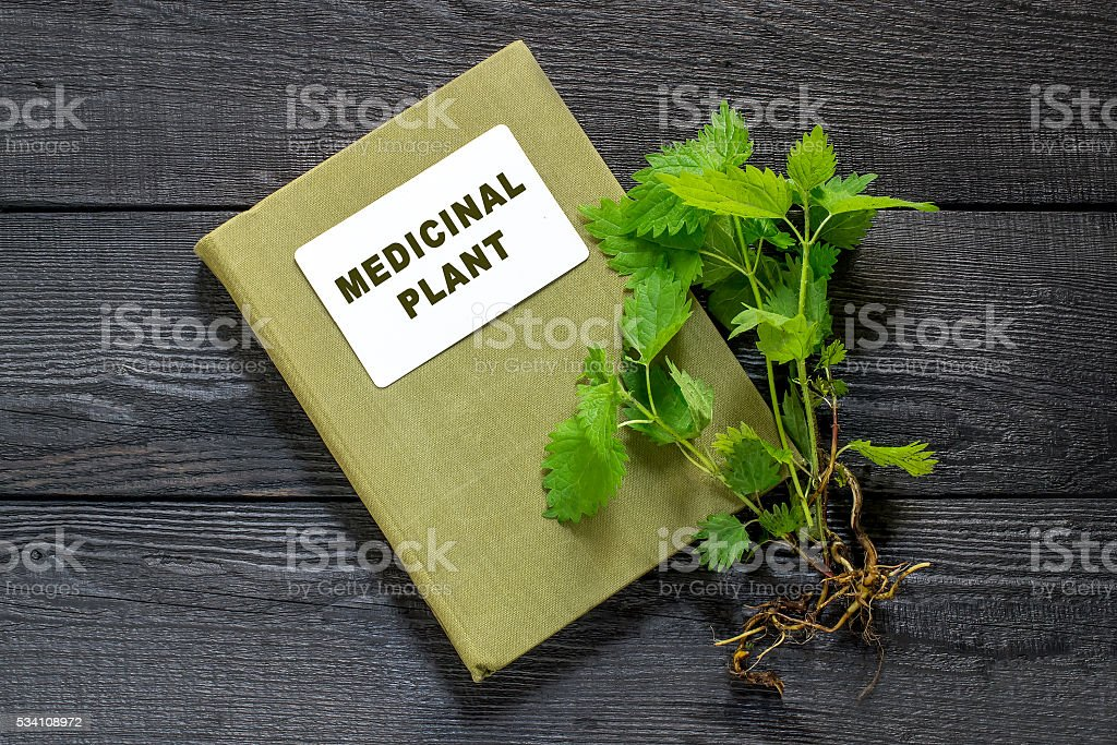 Nettles and directory medicinal plant Medicinal plant nettle (Urtica dioica) and herbalist handbook on the old wooden table. It is used in food preparation and production of fabrics Botany Stock Photo