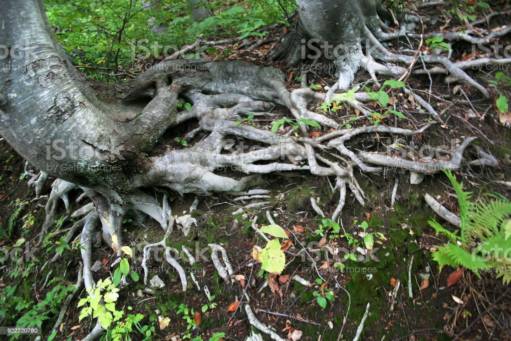 Network of tree roots in the forest. stock photo