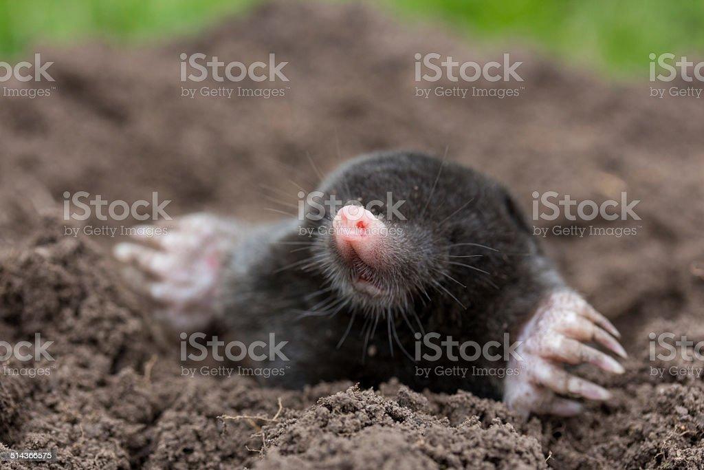 neugieriger Mole – Foto
