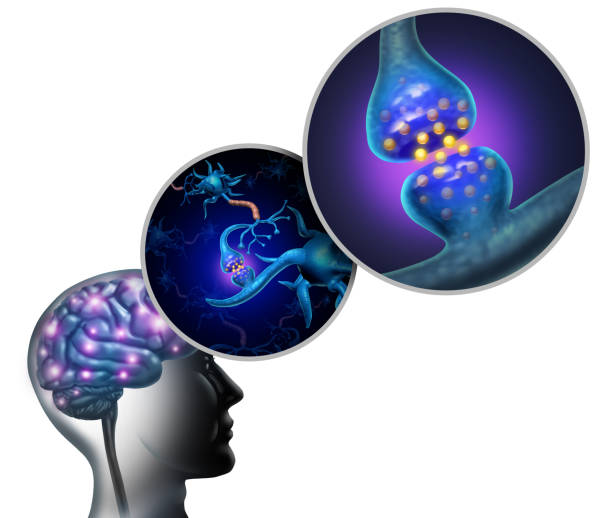 neurologie anatomie - axon stock-fotos und bilder