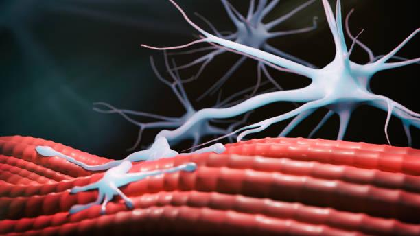 Neuromuscular Junction stock photo