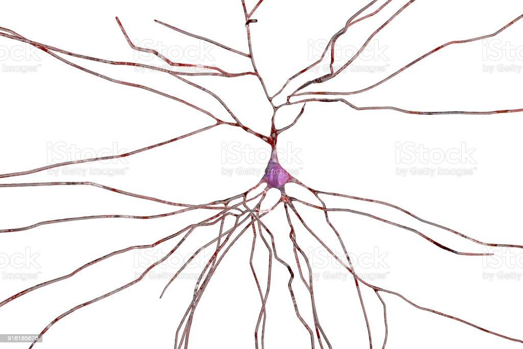 Neurona Células Cerebrales - Fotografía de stock y más imágenes de ...