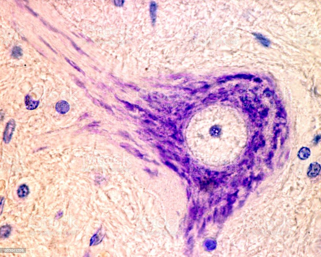 Neuron. Nissl bodies stock photo