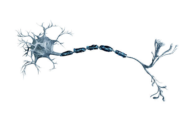 neurons - nerve cell stock photos and pictures