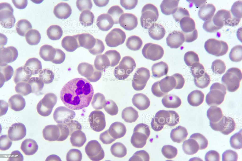 Neutrophil cell stock photo