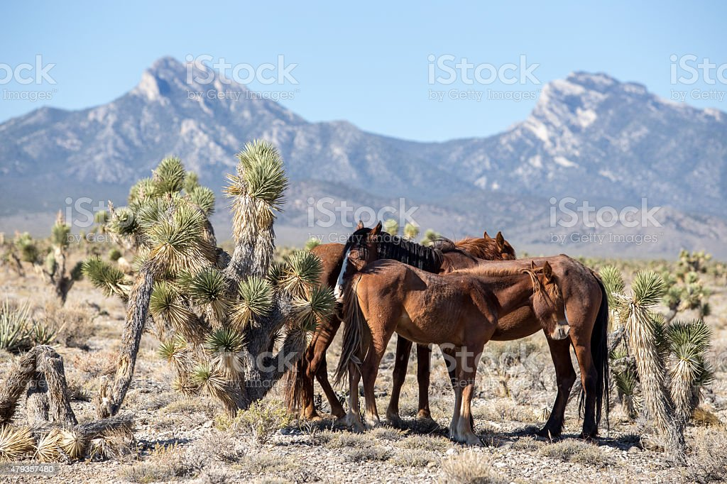 Nevada Wild Horse Huddle Stock Photo & More Pictures of 2015