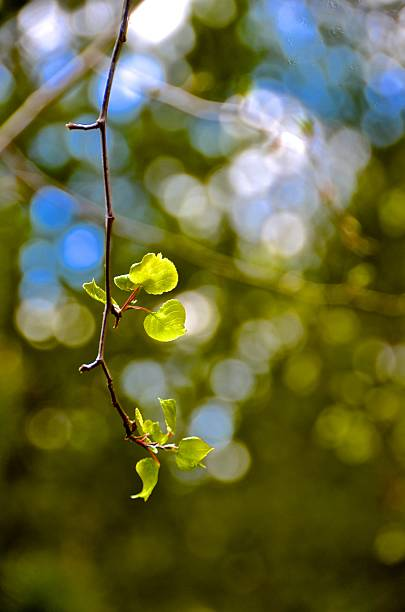 New Aspen blooms on branch stock photo
