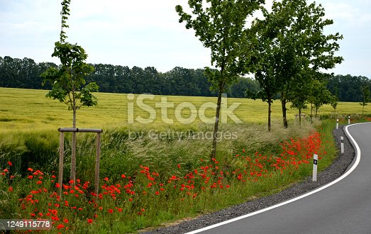 papaver, somniferum, poppy, alley, poppies, road, new, red, flower, line, roadside, side, bend, bending, curved, curve, field, wheat, bollard, plastic, white, orange, trees, along, sign, route, meadow, reflexion, flexible, acer, platanoides, maple, landscape, reconstruction, ditch, race, track, fast, traffic, car, transportation, highway, asphalt, sky, rural, country, travel, nature