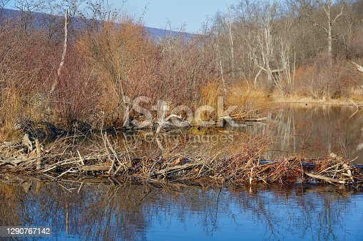 A small new beaver dam spans a stream in the winter woods to make a pond and a new wetland ecosystem in Pennsylvania, PA, USA.