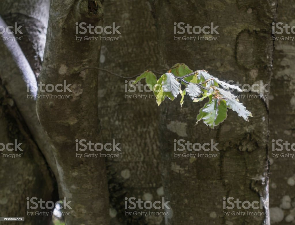 New Beech Tree Leaves in Sunshine royalty free stockfoto