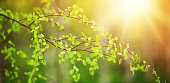 New birch leaves on green spring background. Fresh foliage in the forest in nature with beautiful sunlight