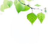 New Birch tree leaves isolated on white