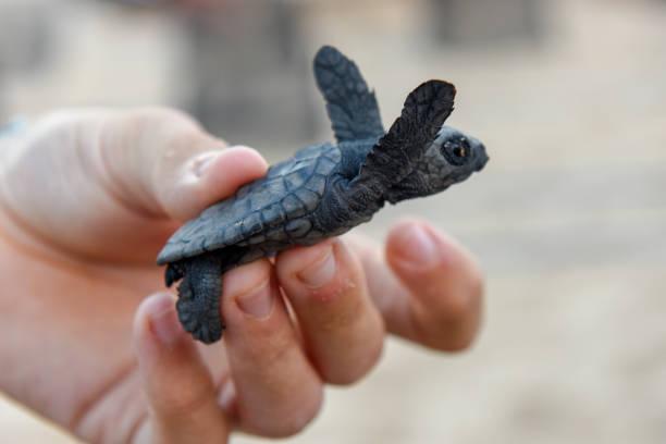 New born baby turtles at praia do forte brazil picture id1148363607?b=1&k=6&m=1148363607&s=612x612&w=0&h=jatmnt bldr3gzuyydr2qsn5rkepkwjj jb u1xojwi=