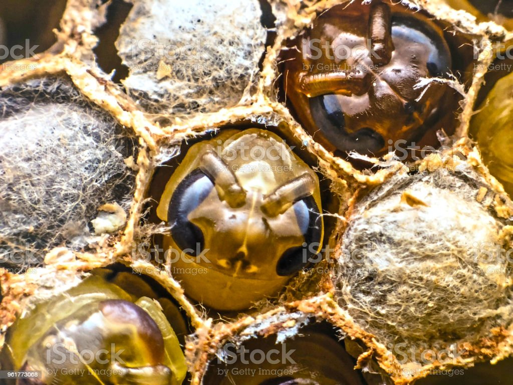 New born boney bees in bee hive stock photo