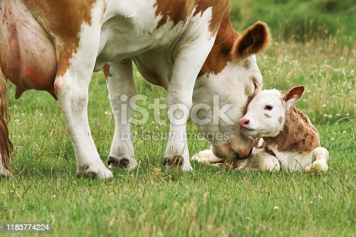 mother cow with new born calf on a meadow